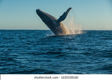 Humpback Whale of Madagascar jumping/breaching the water close to Sainte Marie