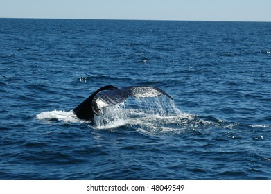 Humpback whale in Maui Hawaii