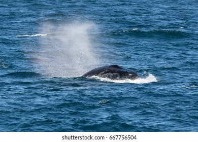 Humpback Whale (Megaptera novaeangliae) blowing, Port Stephens, Australia