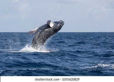 A Humpback whale, Megaptera novaeangliae, breaches in the Caribbean Sea. Each year the North Atlantic Humpback population migrates from New England to calving grounds in the Caribbean Sea.