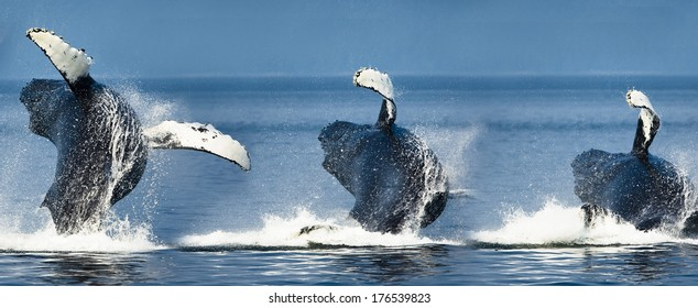 Humpback Whale, Megaptera novaeangliae, breaching in display, coastal Alaska, United States. Composite Image of breaching sequence.
