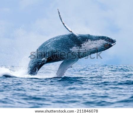 Humpback Whale Megaptera novaeangliae