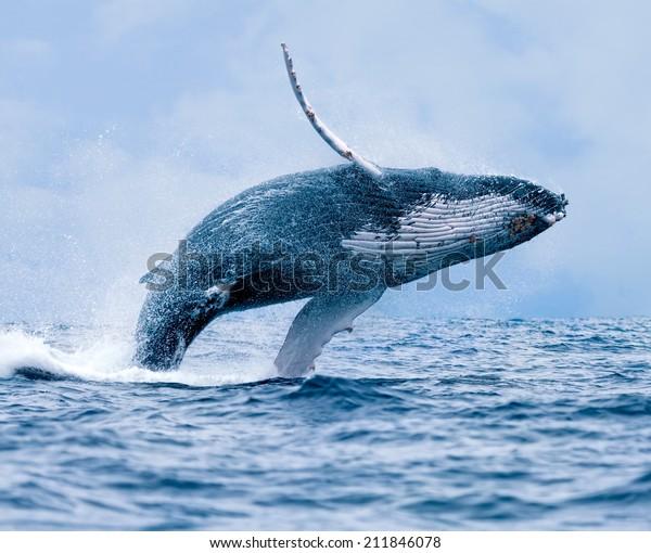 Humpback Whale (Megaptera novaeangliae) breaching at Puerto Lopez, Ecuador.