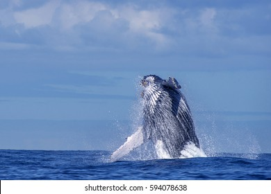 Humpback whale (Megaptera novaeangliae) jumps out of the water, photographed in the coast o the city of Vitoria, Espirito Santo, Brazil. Atlantic Ocean.