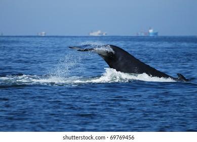 Humpback Whale, Megaptera novaeangliae, Namibia