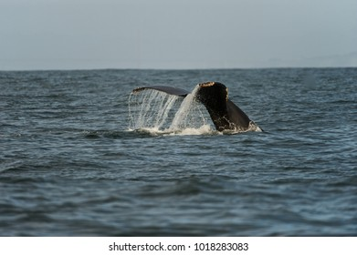 Humpback whale (Megaptera novaeangliae) off the coast of California