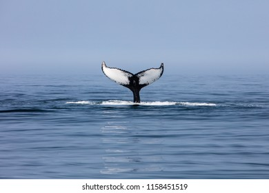 A Humpback whale, Megaptera novaeangliae, raises its unique fluke out of the north Atlantic Ocean off Cape Cod, Massachusetts. Humpbacks feed in this fish and plankton-rich area much of the year.