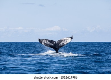 A Humpback whale, Megaptera novaeangliae, raises its powerful fluke out of the sea. The Atlantic population of Humpback whales is still considered an endangered species.
