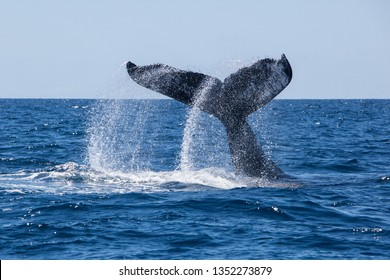 A Humpback whale, Megaptera novaeangliae, slams its massive fluke down on the blue waters of the Caribbean Sea.
