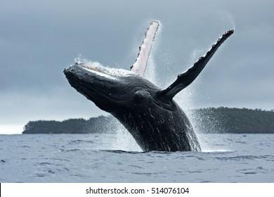 humpback whale, megaptera novaeangliae, Vava'u island, Tonga