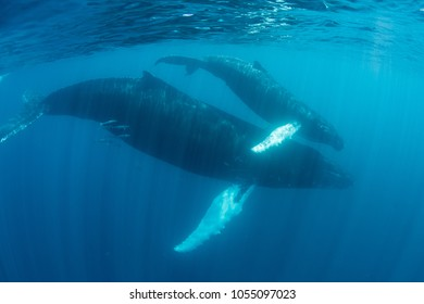 Humpback whale mother and calf, Megaptera novaeangliae, cruise through the Caribbean Sea. Each year North Atlantic Humpbacks migrate from New England to the Caribbean to give birth and breed.