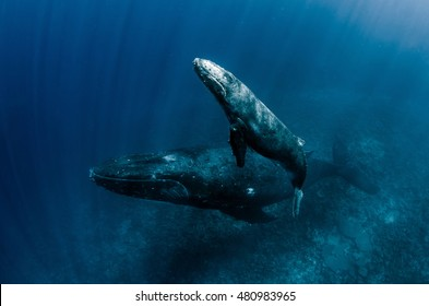 Humpback Whale mother & calf swimming in Tonga waters