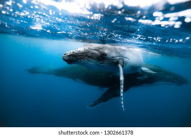 A humpback whale mum and calf swimming next to each other in crystal clear waters of Tonga