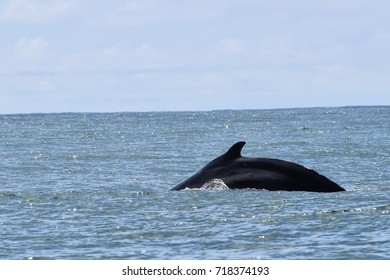 humpback whale in natural habitat during mating season Costa Rica