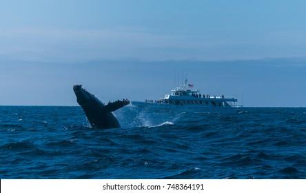 Humpback whale in Pacific ocean, California