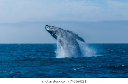 Humpback whale in Pacific ocean, California