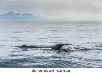 Humpback whale in the Pacific Ocean. At the coast of the Kamchatka Peninsula.