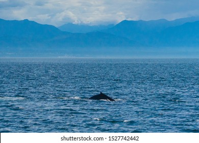 A humpback whale in Puget Sound / the Salish Sea with mountains.
