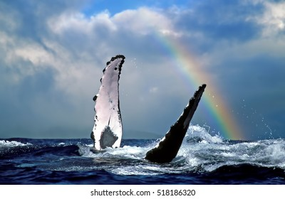 Humpback Whale & Rainbow - Near Lahaina, Maui - Hawaii