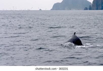 Humpback Whale in Resurrection Bay, Alaska.