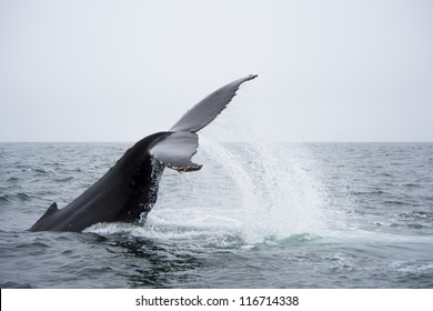 Humpback Whale Showing Off