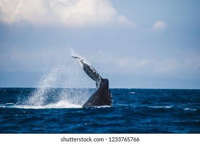 A humpback whale showing its tail and splashing off the coast of Maui, Hawaii