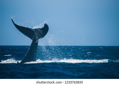 A humpback whale showing its tail and splashing off the coast of Maui, Hawaii