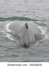 A humpback whale shows its back dorsal just before diving