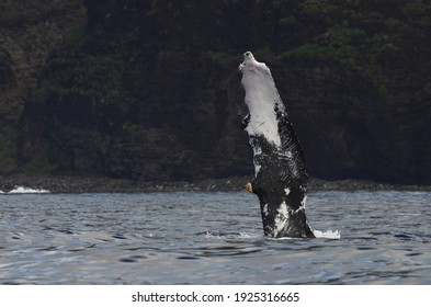 Humpback Whale slapping pectoral fin off the Na Pali Coast on Kaua'i Hawai'i