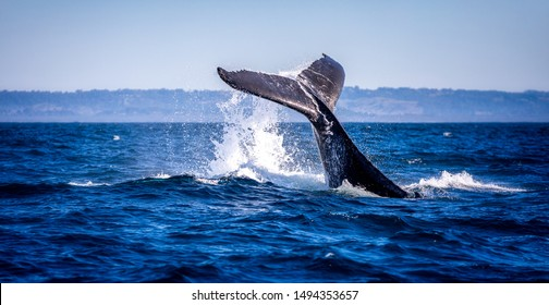 Humpback whale slapping its tail on the water in Australia near Byron bay