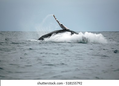 Humpback whale splashing down after breaching off the coast of Puerto Lopez, Ecuador
