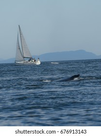 A Humpback Whale Surfaces Near a Sailboat Off of Vancouver Island