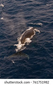 Humpback whale swimming in deep blue sea water - aerial view