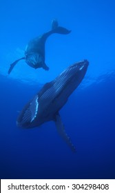 HUMPBACK WHALE SWIMMING ON A CLEAR BLUE WATER