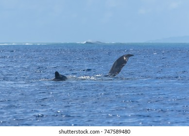 Humpback whale swimming in the Pacific Ocean, back and tail of the whale diving