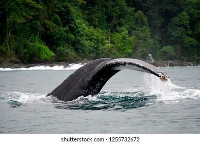 Humpback whale tail - Bahia Solano, Colombia