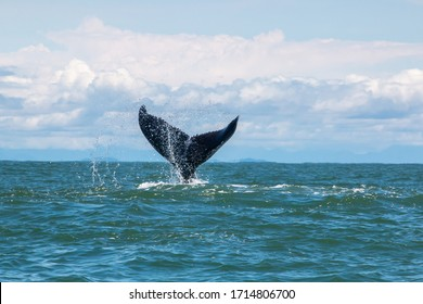 humpback whale tail in blue background
