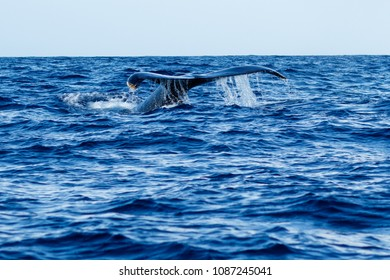Humpback whale tail fluke in Lahaina, Maui, Hawaii, Winter