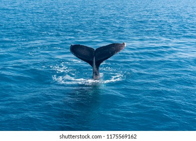 Humpback whale tail flukes in Platypus Bay, Hervey Bay Marine Park, Queensland, Australia.