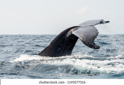 Humpback whale tail in Gabon sea, Gulf of Guinea. Ocean with black humpback whale during whale watching