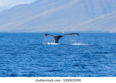 Humpback whale tail in Maui, Hawaii