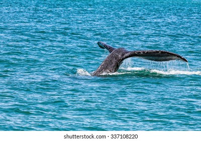 Humpback whale with tail out of water.