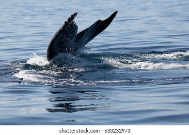Humpback whale tail in Samana, Dominican republic