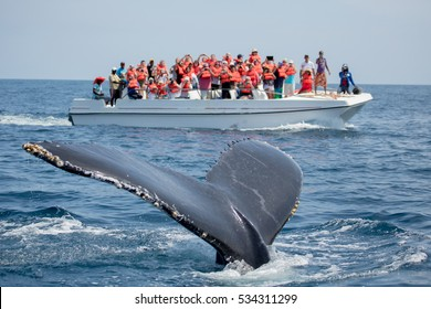 Humpback whale tail in Samana, Dominican republic and torist whale watching boat