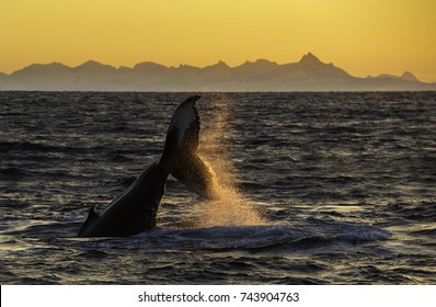 Humpback whale tail at sunset, Andenes fjord, Norway.