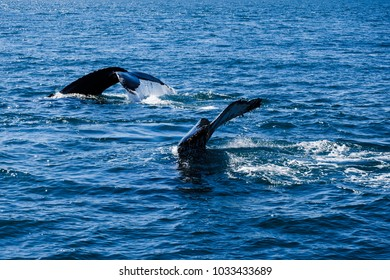 Humpback whale tail, whale watching trip