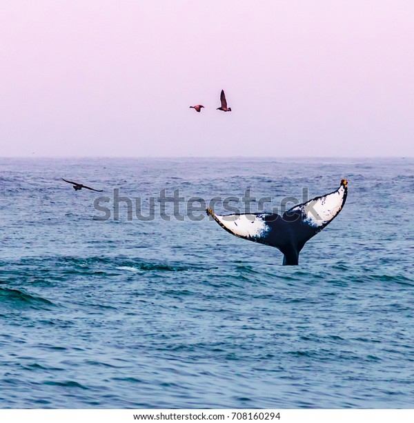A humpback whale waves its tail, as seagulls fly by, at sunset on a whale watching excursion in the Monterey Bay, along the Pacific Coast of central California, near Big Sur, Carmel and Pacific Grove.