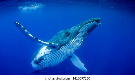 Humpback whales in the blue ocean