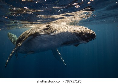 Humpback whales in the blue pacific , calf playing on the surface