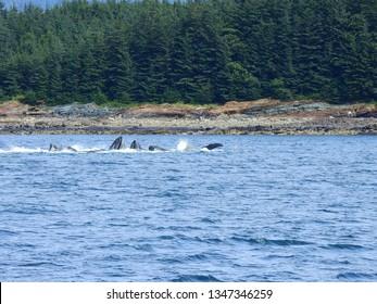 humpback whales bubble net feeding, alaska